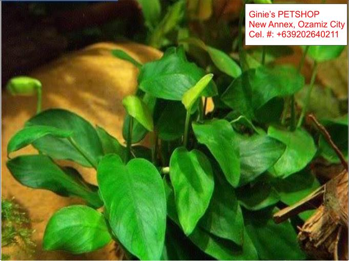 3rd picture of AQUATIC PLANTS / AQUARIUM PLANTS For Sale in Cebu, Philippines