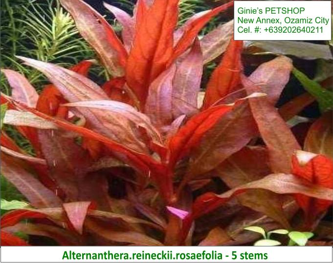 1st picture of AQUATIC PLANTS / AQUARIUM PLANTS For Sale in Cebu, Philippines
