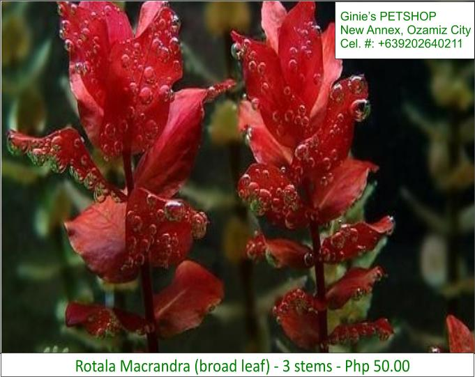 5th picture of AQUATIC PLANTS / AQUARIUM PLANTS For Sale in Cebu, Philippines