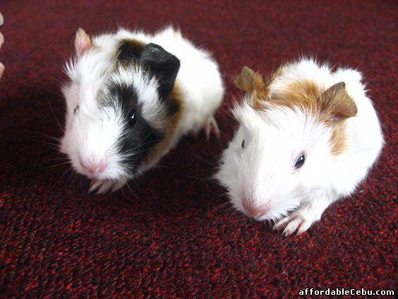 ABYSSINIAN BABY GUINEA PIGS FOR SALE! For Sale Talisay ... - photo#32