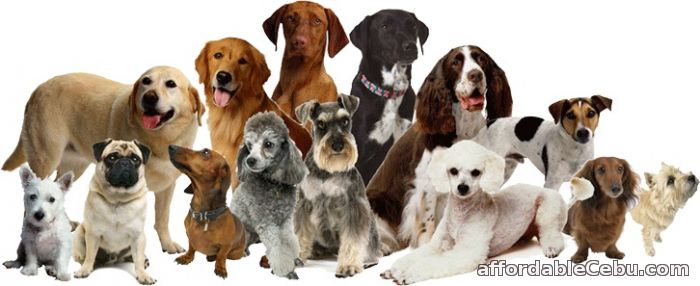 Affordable Dog Breeds In Philippines