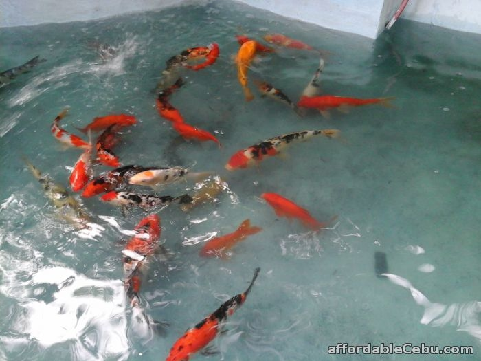 Japanese koi fishes at farm prices for sale or swap cebu for Japanese koi fish wholesale