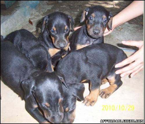 3rd picture of Doberman Puppies In Cebu For Sale in Cebu, Philippines