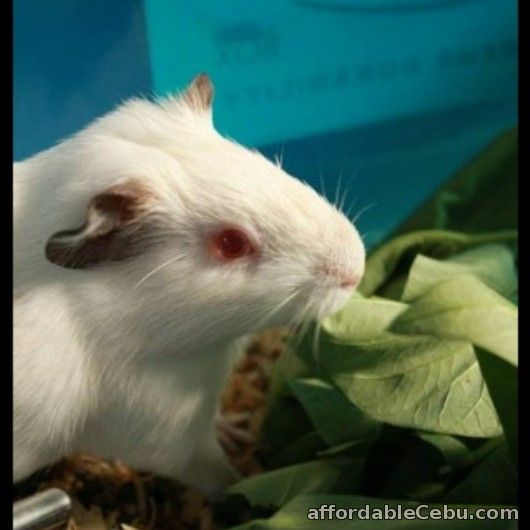 1st picture of 2 Male American-Abysinnian Guinea Pigs for Sale For Sale in Cebu, Philippines