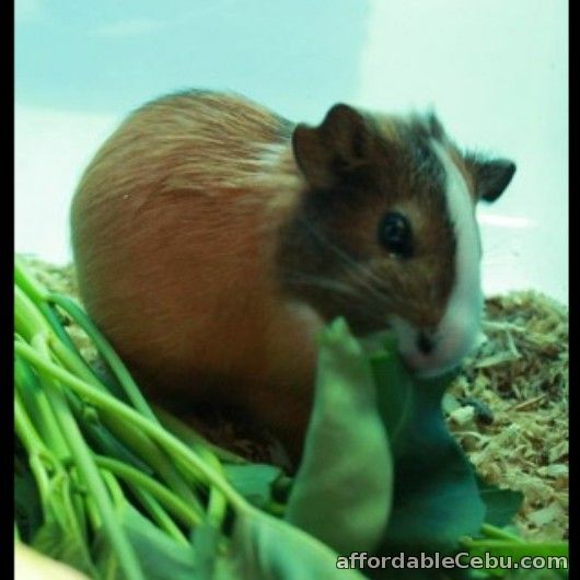2nd picture of 2 Male American-Abysinnian Guinea Pigs for Sale For Sale in Cebu, Philippines