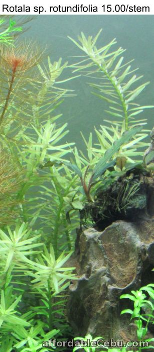 2nd picture of Aquatic Plants That Grow Without CO2 System For Sale in Cebu, Philippines