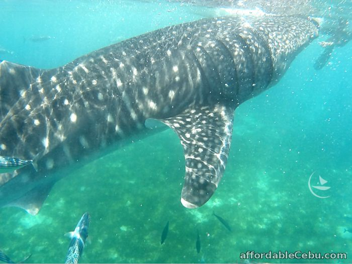 1st picture of Oslob whale shark watching, cebu tour package For Sale in Cebu, Philippines