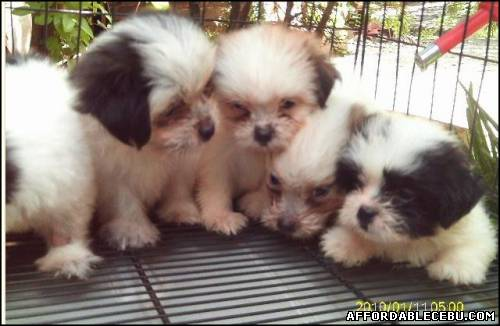 1st picture of Mix Puppies For Sale in Cebu, Philippines
