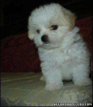 1st picture of Quality MALTESE PUPPY For Sale in Cebu, Philippines