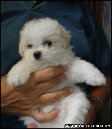 3rd picture of Quality MALTESE PUPPY For Sale in Cebu, Philippines