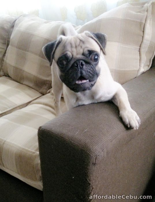 1st picture of Stud Service: Pug For Sale in Cebu, Philippines