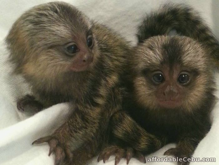 1st picture of Marmoset monkeys available For Sale in Cebu, Philippines
