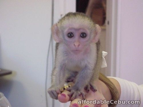 1st picture of Capuchin Monkey babies For Sale in Cebu, Philippines