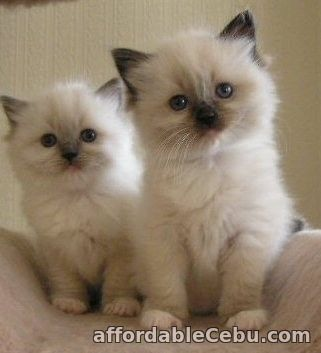 1st picture of Ragdoll Kittens For Sale in Cebu, Philippines