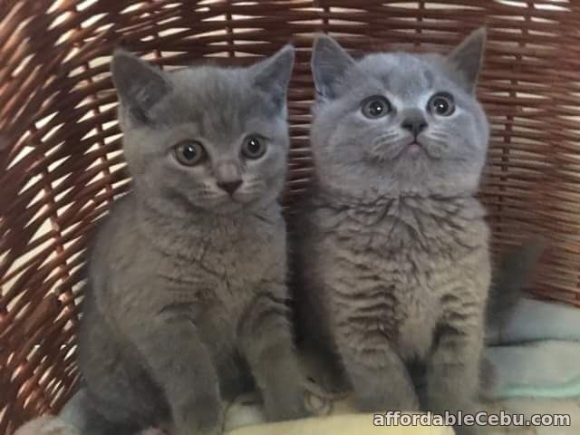 1st picture of British blue pedigree kittens For Sale in Cebu, Philippines