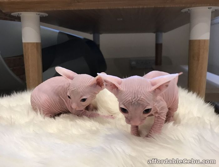 1st picture of Sphynx Kittens For Sale in Cebu, Philippines