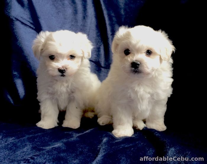 1st picture of Beautiful Maltese puppies For Sale in Cebu, Philippines