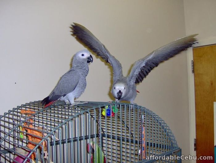 1st picture of African Grey Parrots For Sale in Cebu, Philippines