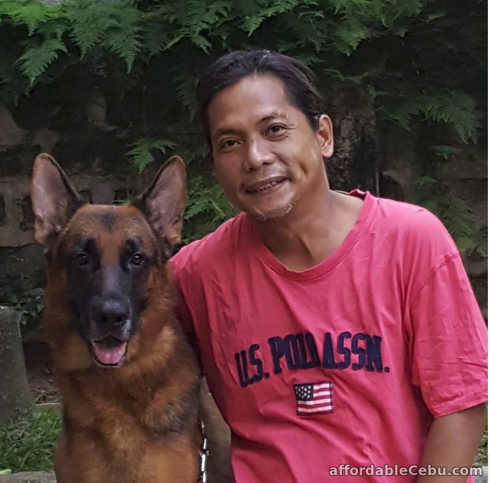 2nd picture of German Shepherd Cebu STUD Service - WORLD Champion line. PROVEN. For Sale or Swap in Cebu, Philippines