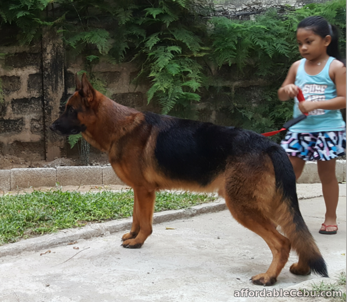 4th picture of German Shepherd Cebu STUD Service - WORLD Champion line. PROVEN. For Sale or Swap in Cebu, Philippines
