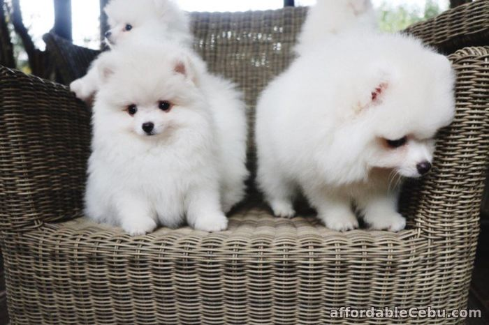 1st picture of pomeranian puppies for adoption Announcement in Cebu, Philippines