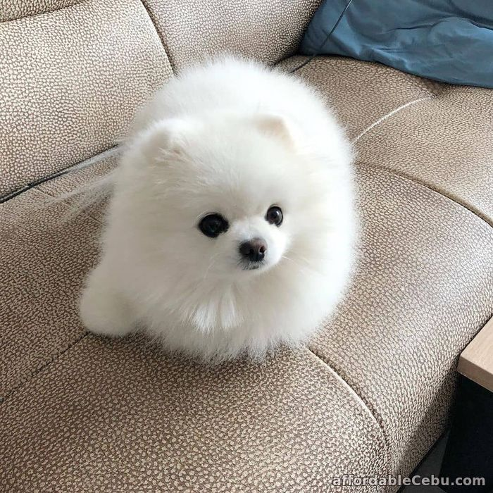 1st picture of POMERANIAN PUPPIES FOR SALE NOW For Sale in Cebu, Philippines