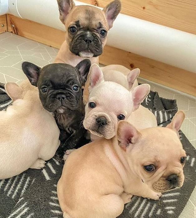 1st picture of FRENCH BULLDOG PUPPIES For Sale in Cebu, Philippines