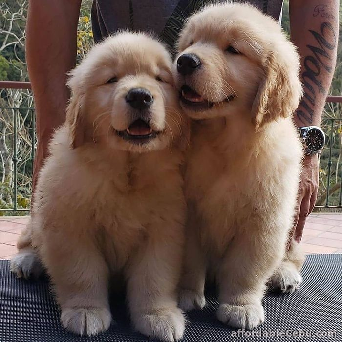 1st picture of GOLDEN RETRIEVER PUPPIES FOR SALE For Sale in Cebu, Philippines