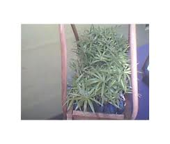 Picture of Rattan Plants
