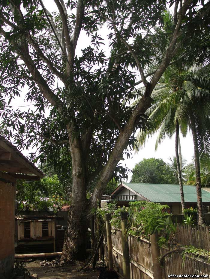 Earthquake shakes mango tree